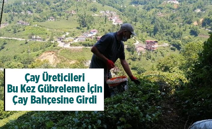 Çay Üreticileri Bu Kez Gübreleme İçin Çay Bahçesine Girdi
